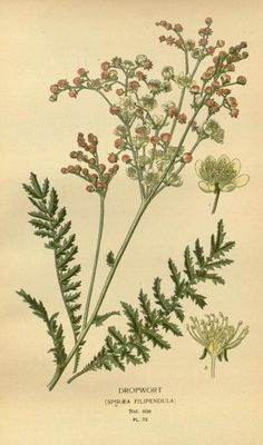 Dropwort  (Spiraea Filipendula) Filipendula ulmaria, commonly known as Meadowsweet,  Mead wort,  Queen of the Meadow,  Pride of the Meadow, Meadow-Wort, Meadow Queen, Lady of the Meadow, Dollof, Meadsweet, and Bridewort. -  Biodiversity Heritage Library