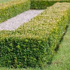 15 Best Plants to Grow for Privacy in the Backyard - Architecture Lab Evergreen Landscape, Evergreen Hedge, Boxwood Hedge, Shade Evergreen Shrubs, Landscaping With Rocks, Front Yard Landscaping, Hedges Landscaping, Florida Landscaping, Outdoor Landscaping
