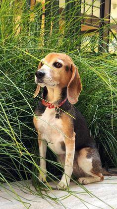 Beagle Puppy, Corgi, Funny Dogs, Cute Dogs, Funny Animal Videos, Dog Treats, Cute Animals, Puppies, Pretty Animals