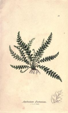 Image result for fern and shell tattoo Old Book Pages, Old Books, Nautilus Tattoo, Shell Tattoos, Smooth Rock, Happy Images, History Images, Dream Tattoos, Beautiful Cover