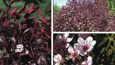 sandcherry - Is prized for its masses of fragrant light pink flowers in early spring and deep purple foliage. A beautiful accent plant either as a multi-...