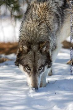 A wolf with a snow covered nose.