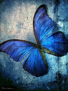 #blue butterfly by Micql