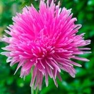 'Needle Rose' Aster