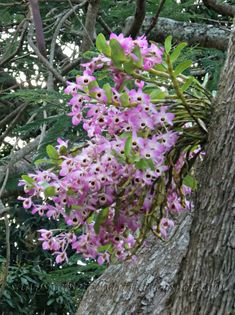 orchids on trees | don't know the name of the orchid but will endeavour to find out.