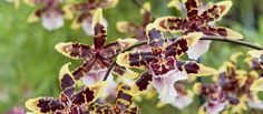 Orchid Extravaganza | Longwood Gardens