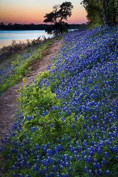 #GreenTopLawnCare Likes Grapevine TX Bluebonnets. #GreenTopLawnCare is proud to be part of the Grapevine TX Community. Let us help you in all your Lawn Care needs. Please visit our Grapevine TX Lawn Care page at http://www.greentoplawncare.com/grapevine-lawn-care/