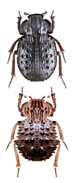 Omorgus tatei  - Troginae, hide beetles - SCRABAEINAE
