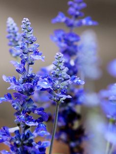 Beautiful blue - Salvia ?