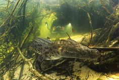 egyptian crocodile   Crocodile, Botswana - Big Animals Expeditions with Amos Nachoum - Dive ...