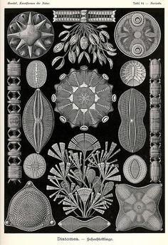 ernst haeckel scientific illustration poster educational art algae print black and white art gi subjects Art Et Nature, Nature Prints, Art Prints, Ernst Haeckel Art, Natural Form Art, Arte Popular, Ocean Art, Ocean Life, Patterns In Nature