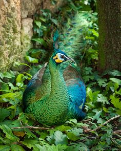 Green Peafowl (Pavo muticus) — with Vera van den Bosch. Peacock Flying, Peacock Bird, Green Peacock, Peacock Feathers, Exotic Birds, Colorful Birds, Animals And Pets, Cute Animals, Peacock Pictures
