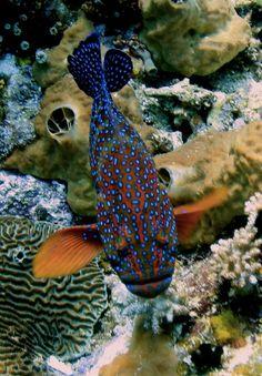 Coral Grouper, Komodo, Indonesia by Daniel Ehrensberger