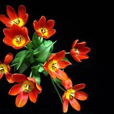 In search of tulips take 3 #tulips #redtulips #tuliplove #tulipflowers #tulipmania #tulipfever #lovetulips #tulipseason #tulipsallaround #flowersonblack #tulipsfordays #tulipsforever #insearchoftulips