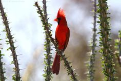 Northern Cardinal ~ Rotkardinal ~Cardinalis cardinalis This bird was singing and posing nicely between thorns at Sabino Canyon near Tucson in Arizona, a recommended birding spot. 2014 © Jesse Alveo @ iamwhatonearth: Generally they do, but this guy was a little excited and courtship dancing plus I think horizontally these thorns must be even more OUCH. ;-)