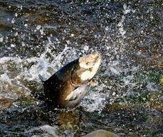 Los salmones son, en gran medida, la base de la red trófica para la fauna de este bioma.Son peces marinos y de agua dulce de la familia de los salmónidos