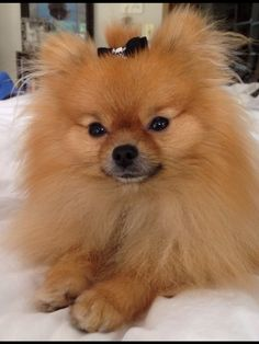 My sweet Pomeranian.