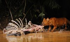 Saving the dhole: The forgotten 'badass' Asian dog more endangered than tigers by Supertrooper http://focusingonwildlife.com/news/saving-the-dhole-the-forgotten-badass-asian-dog-more-endangered-than-tigers/