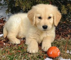 Golden Retriever puppy. I could just squeeze and hug him all day:)