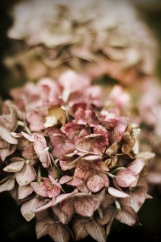 Faded hydrangeas