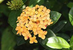 Maui Yellow Ixora plant
