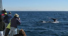 Whale Fluking during a Whale Watching Tour off the coast of San Diego