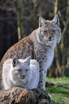 Felini/Lince Europea(o Eurasiatica- Lynx Linx): Nature Animals, Animals And Pets, Funny Animals, Cute Animals, Wild Animals, Baby Animals, Lynx Boréal, Eurasian Lynx, Big Cats