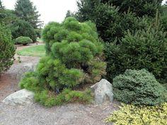 Pinus nigra (Austrian Black Pine)