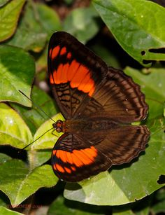 Mesentina-Sister - Adelpha mesentina - Flickr - Photo Sharing!