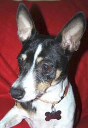Bunnee is an adoptable Rat Terrier Dog in Memphis, TN. Bunnee is a seven year old, 15 pound Rat Terrier who was literally being taken to be euthanized at Memphis Animal Shelter when a Real Good Dog Vo...