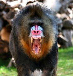 http://www.bozined.com/wp-content/uploads/2012/03/mandrills-teeth.jpg