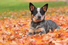 Blue Heeler, I want an Australian dog!!