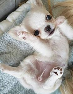 Chihuahua Love, Chihuahua Puppies, Cute Dogs And Puppies, Baby Dogs, I Love Dogs, Doggies, Cute Little Animals, Cute Animal Pictures, Funny Animals