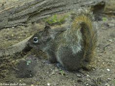 Pere David's Rock Squirrel (Sciurotamias davidianus) - photo by Klaus Rudloff, via BioLib.cz;  at Cottbus Zoo in Germany