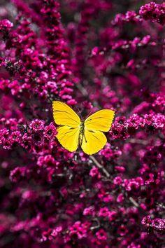 Dark Fairy Flutters