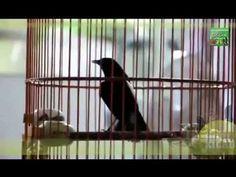▶ Decu Gacor - Suara Decu Gacor   Kicau Decu Juara - YouTube