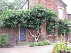 Very old espaliered fig at Kew gardens