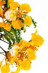 Watercolor Flowers, Watercolor Art, Flame Tree, Marigold Flower, Xiamen, Guam, Art Inspo, Landscape Photography, Beautiful Flowers