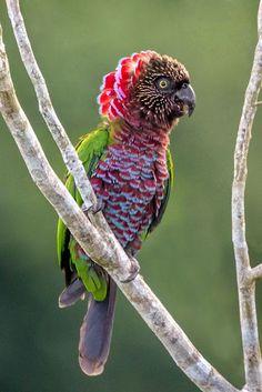 Birds: Red-fan Parrot (Deroptyus accipitrinus) by Thiago Calil Pretty Birds, Beautiful Birds, Animals Beautiful, Cute Animals, Beautiful Pictures, Kinds Of Birds, All Birds, Love Birds, Tropical Birds
