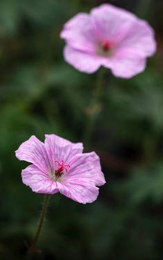 GERANIUM sanguineum var.straitum