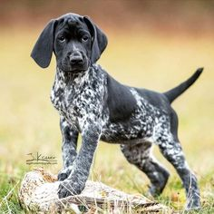 Discover Kid Friendly German Shorthaired Pointer Dogs Exercise NeedsYou can find Hunting dogs and more on our. Gsp Puppies, Pointer Puppies, Pointer Dog, Cute Puppies, German Pointer Puppy, Beagle Puppy, German Shorthaired Pointer Black, Jolie Photo, Hunting Dogs
