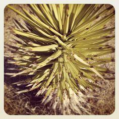 Joshua Tree - Yucca #earth #nature #plants