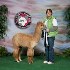 LAS Accoyo The Babe's Copper Mist $10,000 Misty, She is a nice size animal with lots of great crimp from tip to tip.  Very consistent!  She is bred to S& L Comet who we own.  We look forward to seeing her cria in July, 2013. Categories: Alpaca Females, Alpacas.