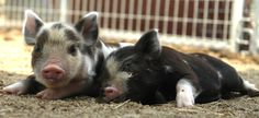 Kunekunes are a miniature breed originating in New Zealand. Like all miniature pigs, they are friendly and affectionate.