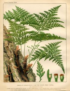 1880 ferns grasses original antique botanical fern plant print - hare's foot fern. 32.50, via Etsy.