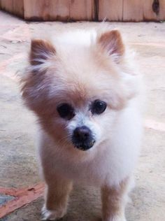 Patrick is an adoptable Pomeranian searching for a forever family near Norman, OK. Use Petfinder to find adoptable pets in your area.