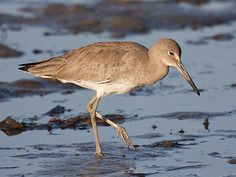 The Willet (Tringa semipalmata), formerly in the monotypic genus Catoptrophorus as Catoptrophorus semipalmatus, is a large shorebird in the sandpiper family. Willets nest on the ground, usually in well-hidden locations in short grass, often in colonies.