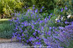 Blue flowering hardy Geranium 'Orion' in perennial border with Nepeta
