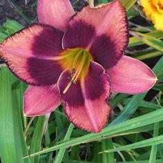 "Mask of Time; Large 6"" bloom; Eyezone; Mid-late season bloom"