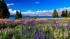 Violet Flowers On Field Beside Blue Lake